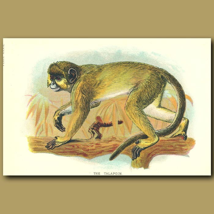 Antique print. The Talapoin