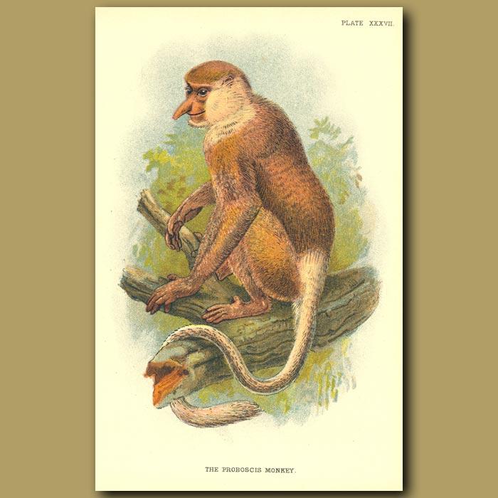 Antique print. Proboscis Monkey