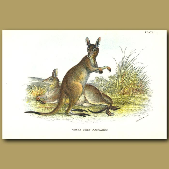Antique print. Great Grey Kangaroo
