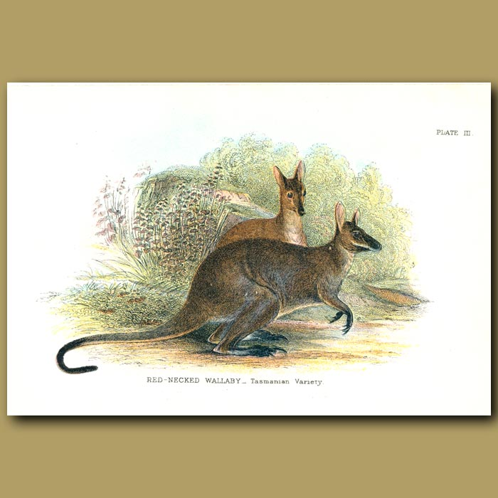 Antique print. Red Necked Wallaby (Tasmanian)