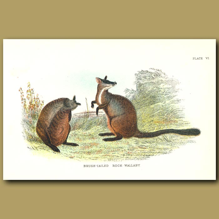 Antique print. Brush-Tailed Rock Wallaby
