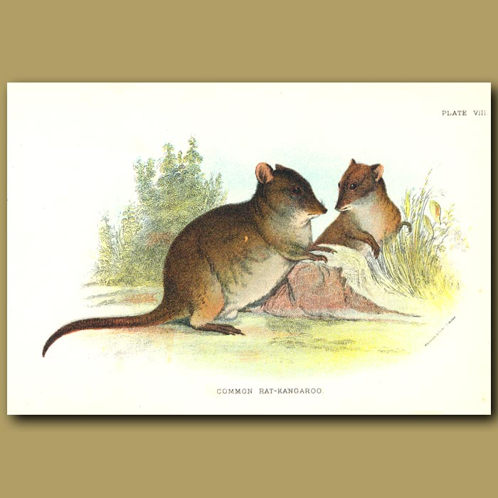 Antique print. Common Rat Kangaroo