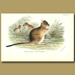 Brush Tailed Rat Kangaroo