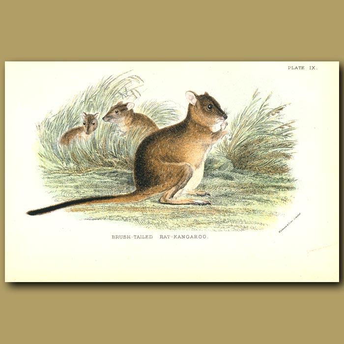 Antique print. Brush Tailed Rat Kangaroo