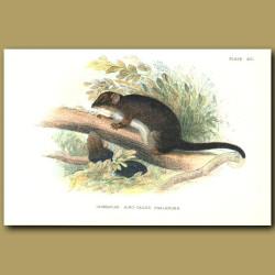 Tasmanian Ring Tailed Phalanger