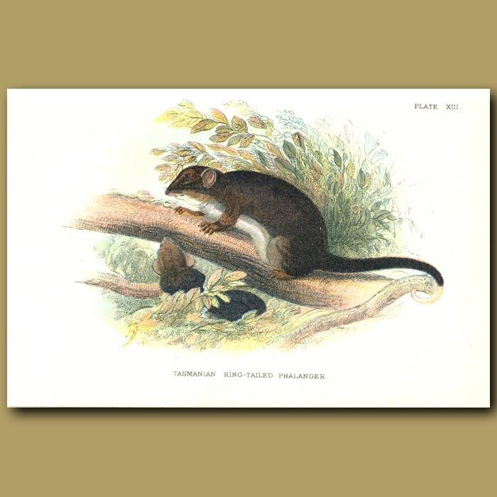 Antique print. Tasmanian Ring Tailed Phalanger