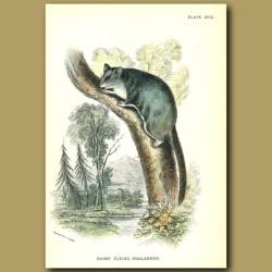 Pigmy Flying Squirrel (Phalanger)