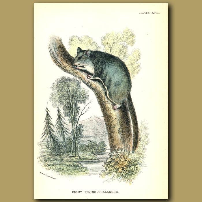 Antique print. Pigmy Flying Squirrel (Phalanger)