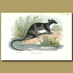 Water Opossum or Yapok