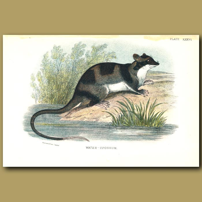 Antique print. Water Opossum or Yapok