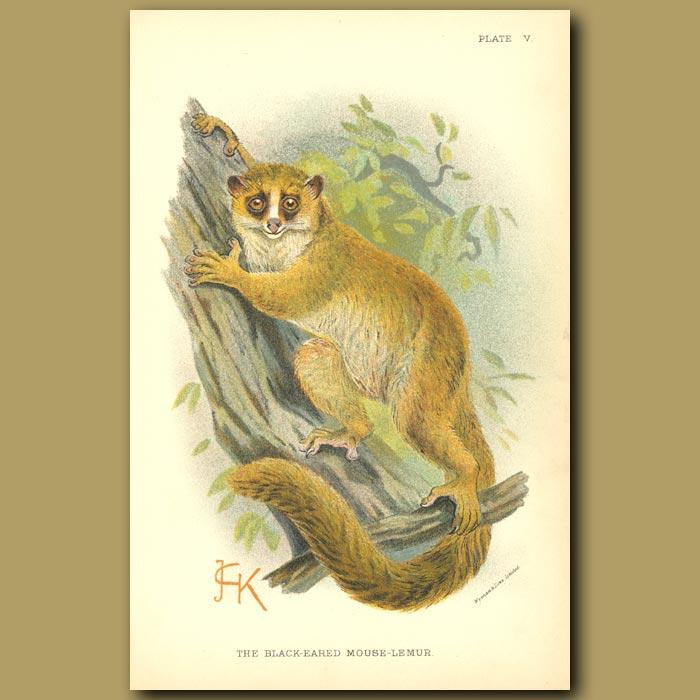 Antique print. Black-eared Mouse Lemur