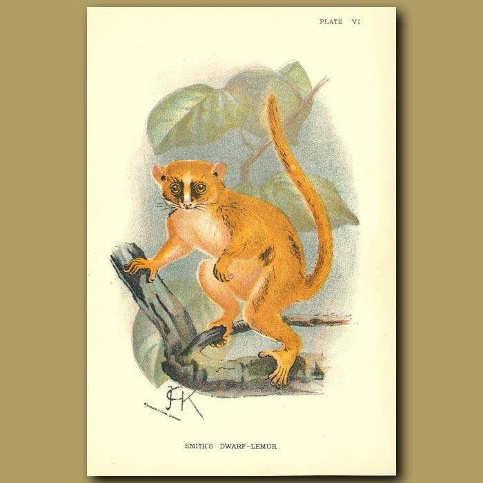 Antique print. Smith's Dwarf Lemur