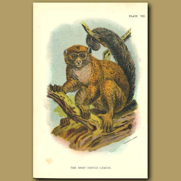 Antique print. Grey Gentle Lemur