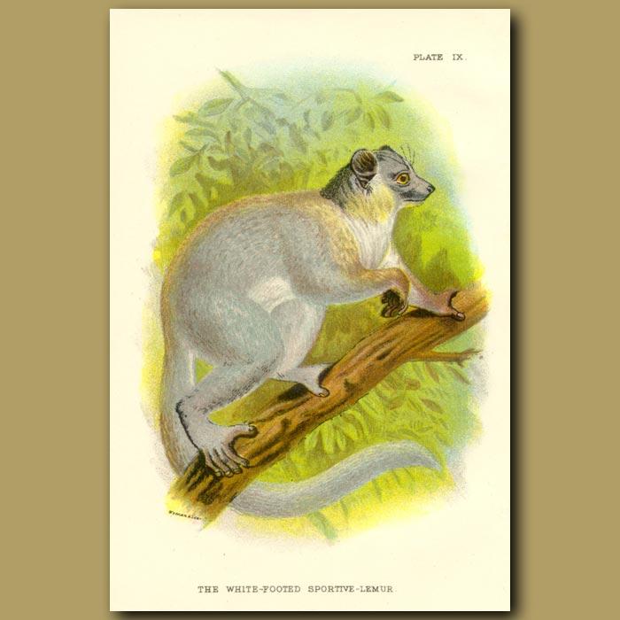 Antique print. White Footed Sportive Lemur
