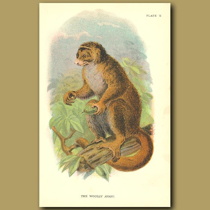 Antique print. Wooly Avahi or Wooly Lemur