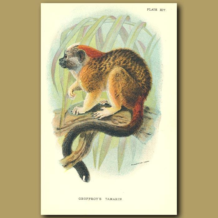 Antique print. Geoffroy's Tamarin