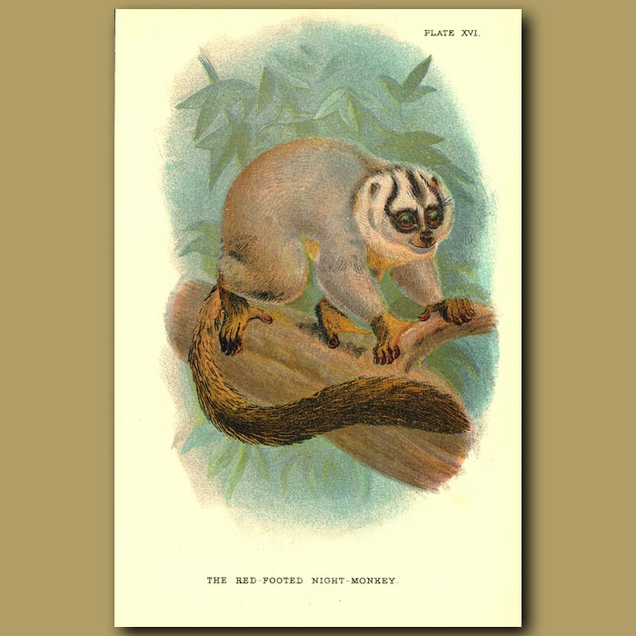 Antique print. Red-footed Night Monkey