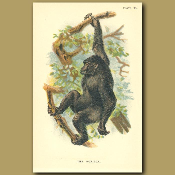 Antique print. Gorilla