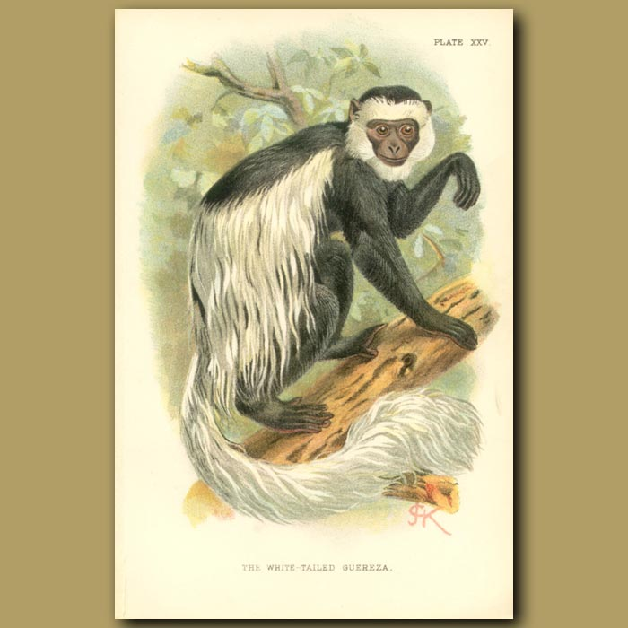 Antique print. White Tailed Guereza or Black and White Colobus
