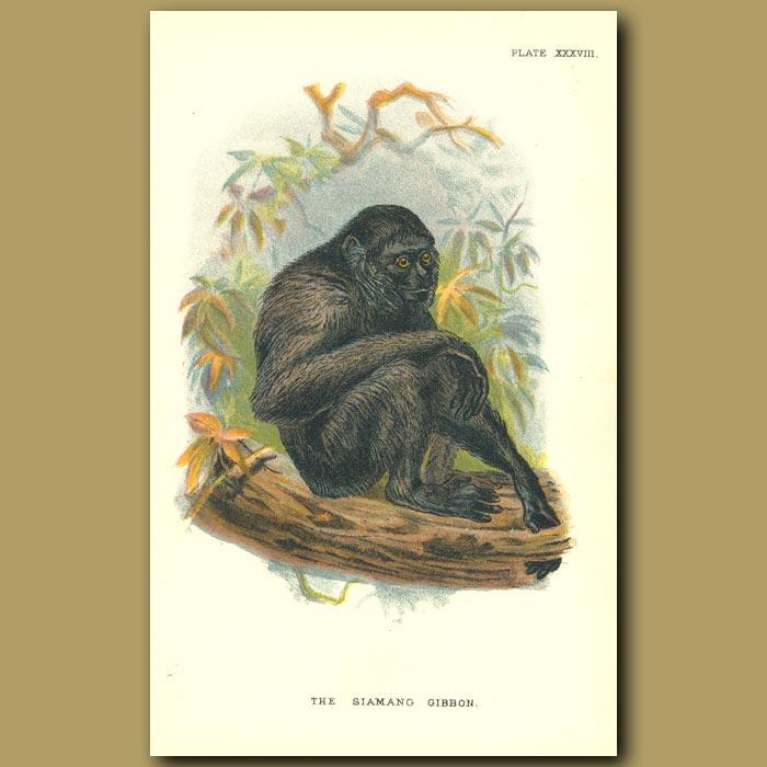 Antique print. Siamang Gibbon