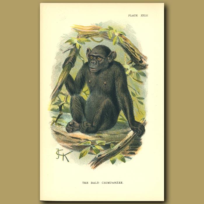Antique print. Bald Chimpanzee