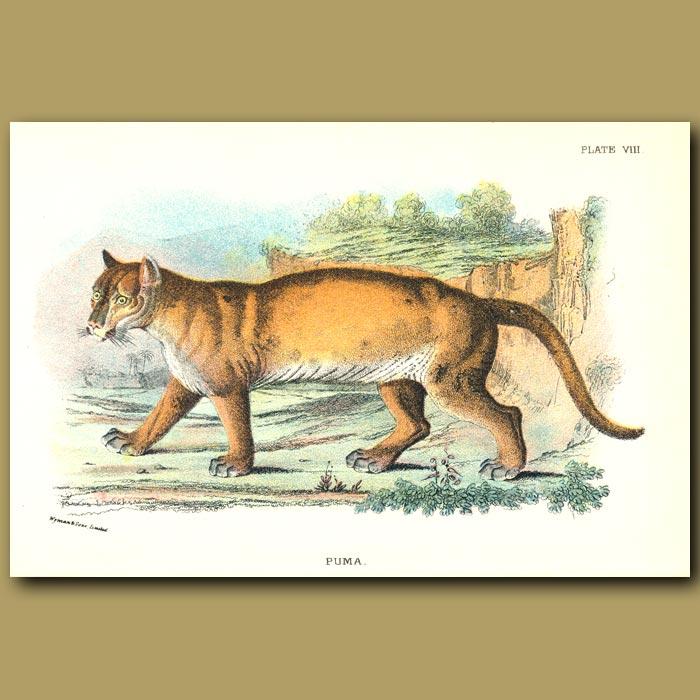 Antique print. Puma or Cougar