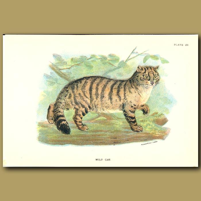 Antique print. Wild Cat