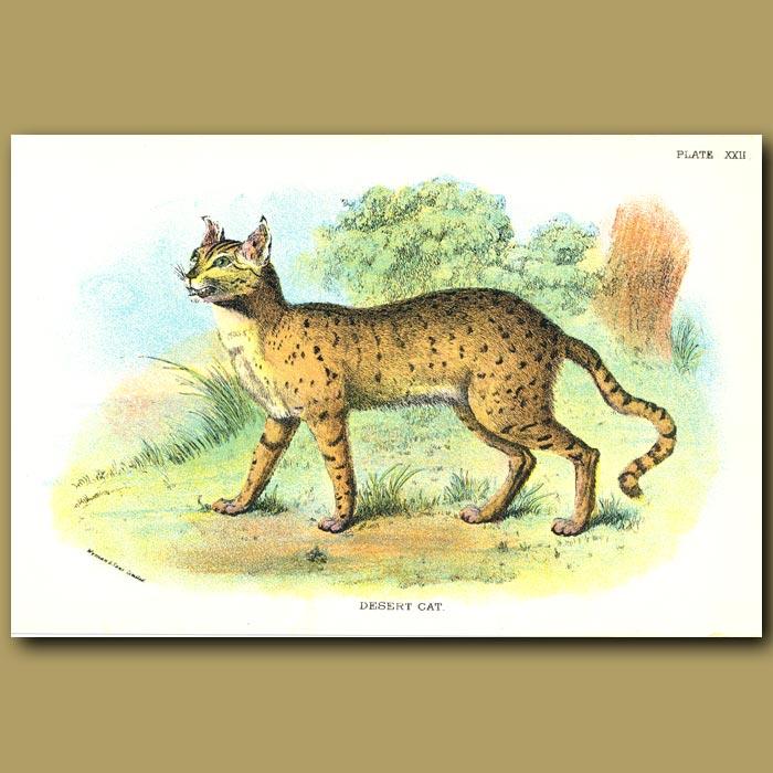Antique print. Desert Cat