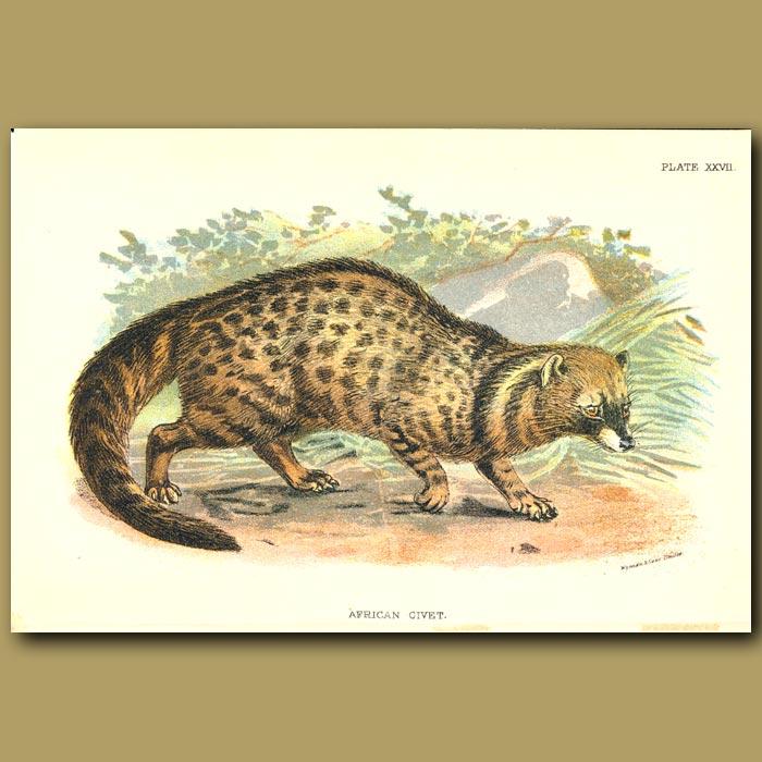 Antique print. African Civet