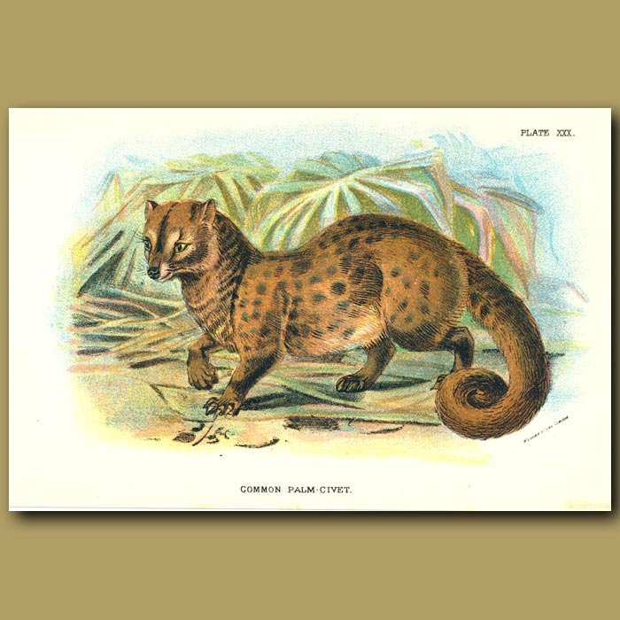 Antique print. Common Palm Civet