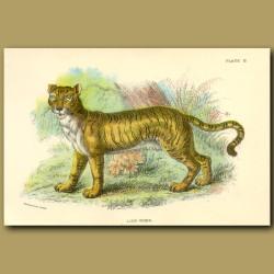 Lion-Tiger