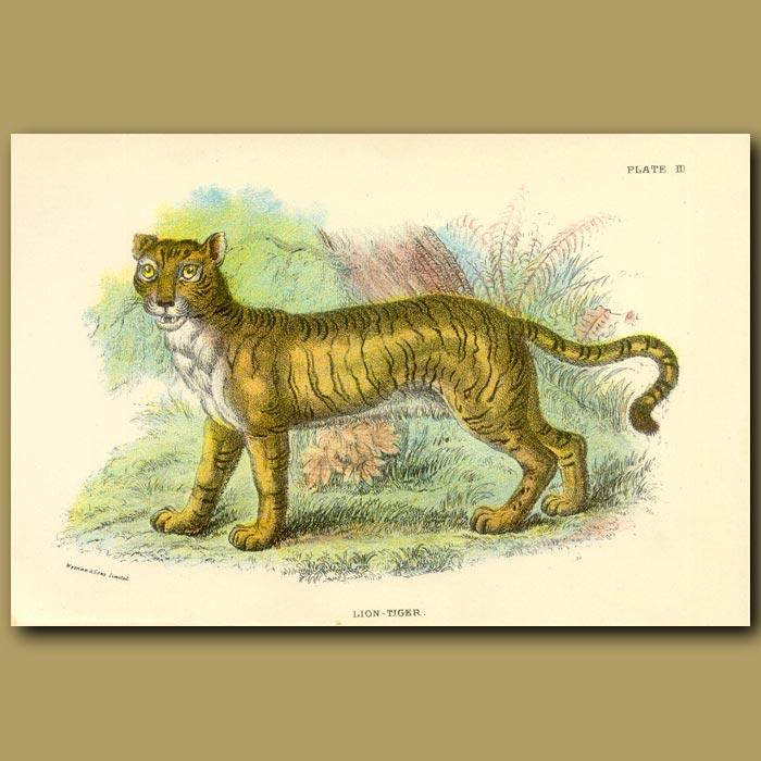 Antique print. Lion-Tiger