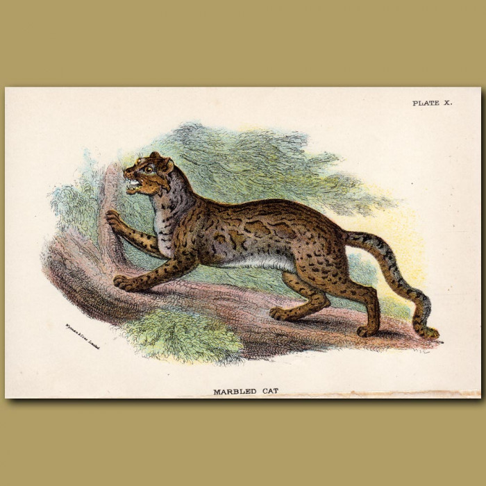 Clouded Leopard or Marbled Cat