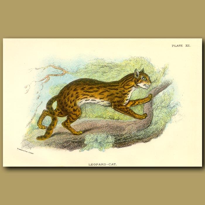 Antique print. Leopard-cat