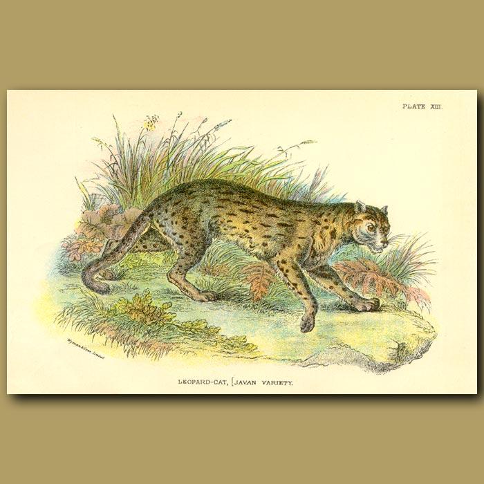 Antique print. Leopard-Cat (Javan Variety)