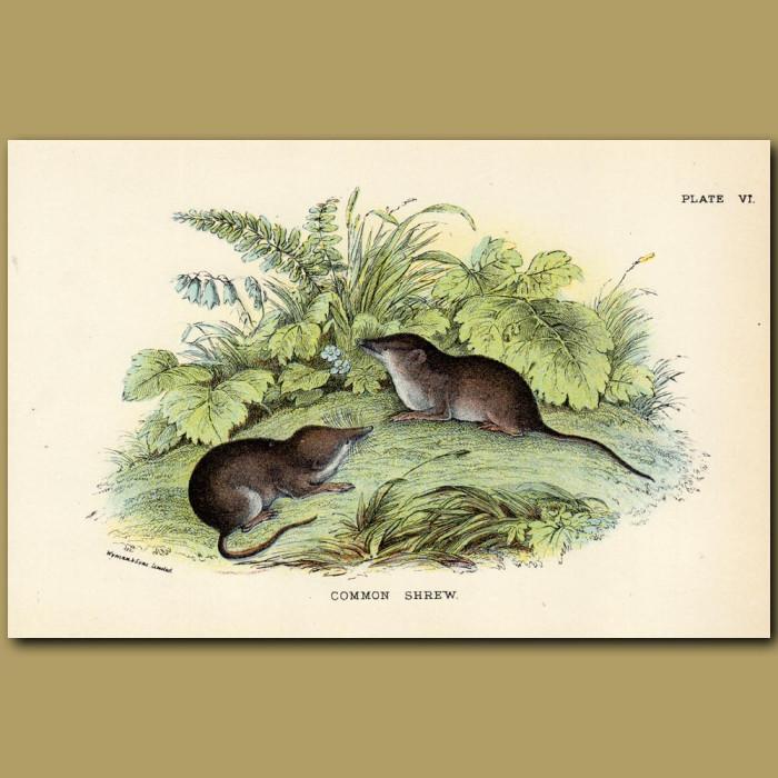 Antique print. The Common Shrew