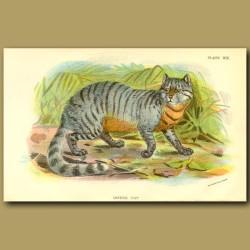 Caffre Cat