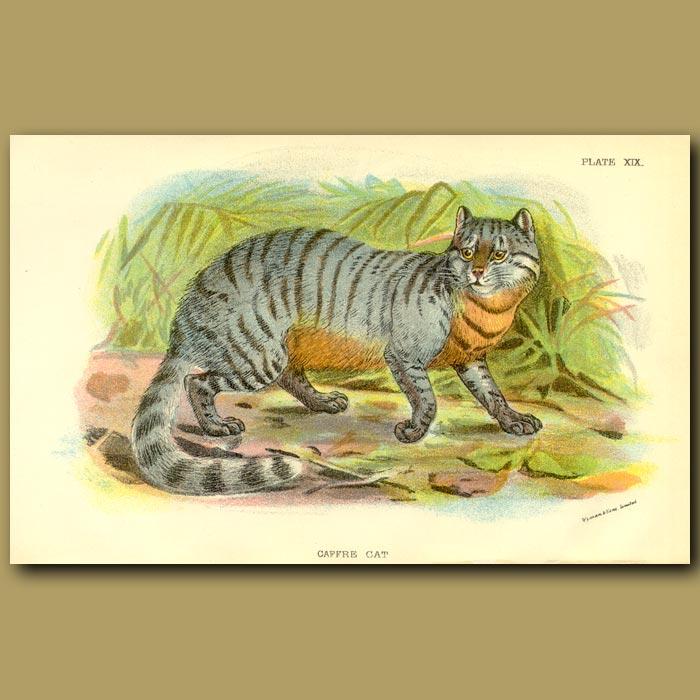 Antique print. Caffre Cat