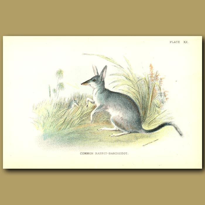 Antique print. Rabbit Bandicoot or Greater Bilby