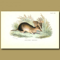 Long Nosed Bandicoot