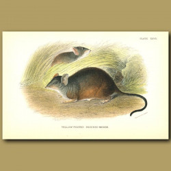 Yellow Footed Pouched Mouse