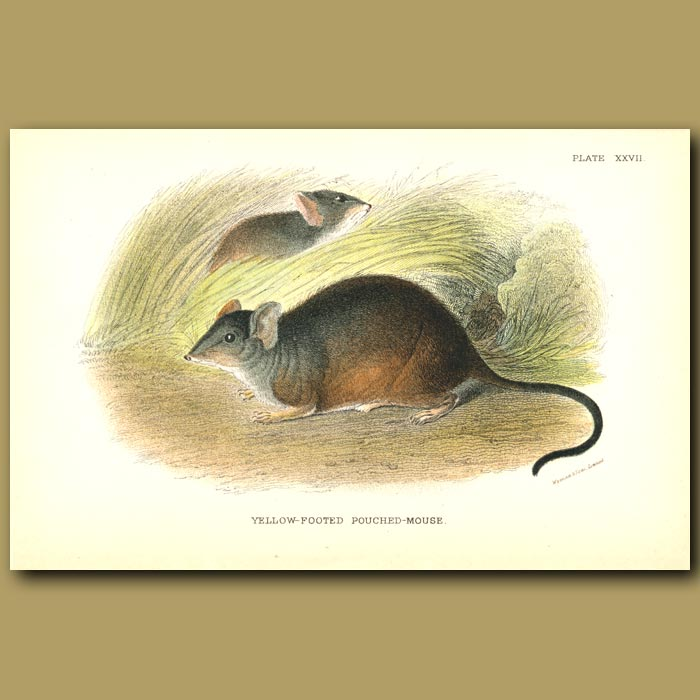 Antique print. Yellow Footed Pouched Mouse