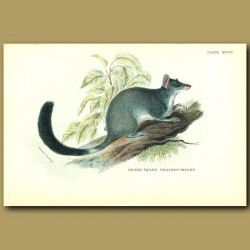 Brush Tailed Pouched Mouse