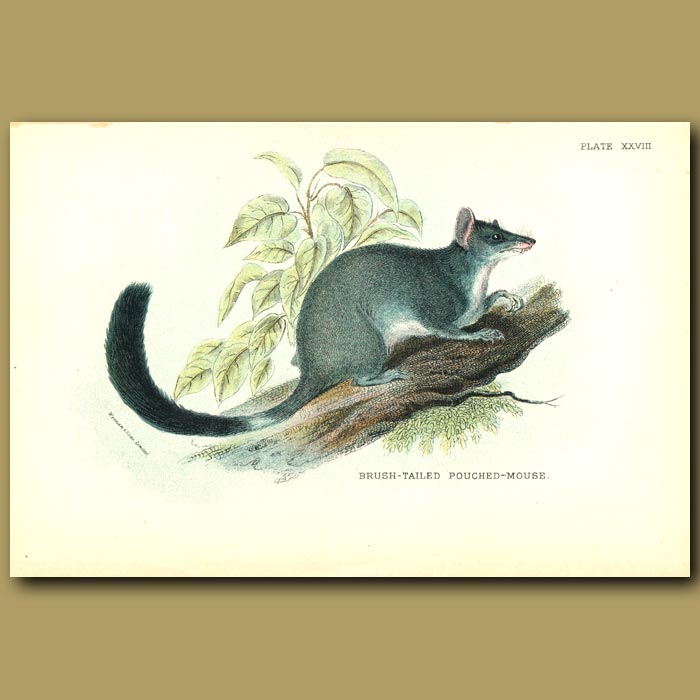 Antique print. Brush Tailed Pouched Mouse