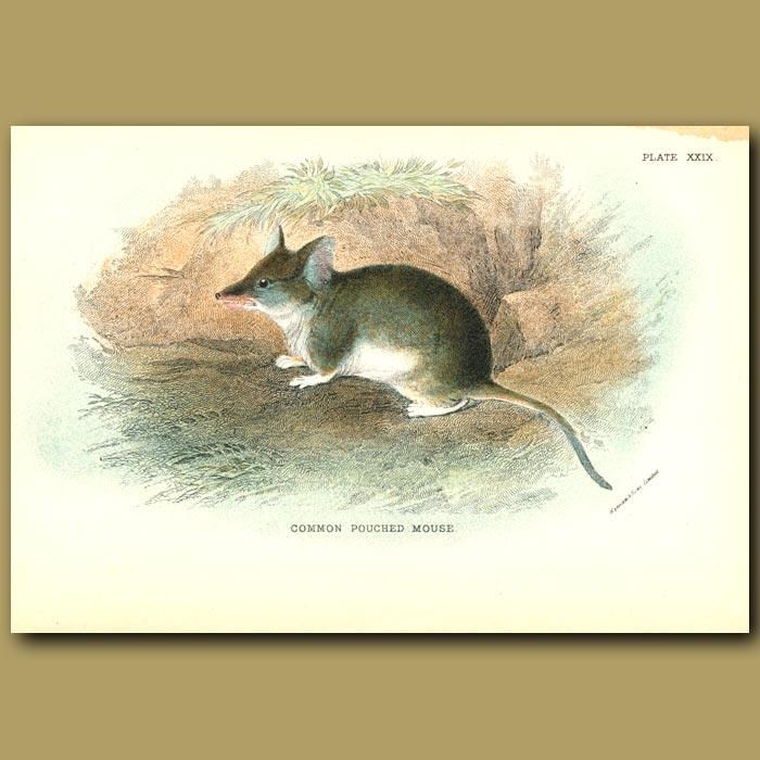 Antique print. Common Pouched Mouse