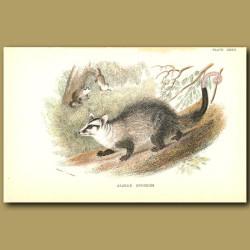 Azara's Opossum or Big-eared Opposum