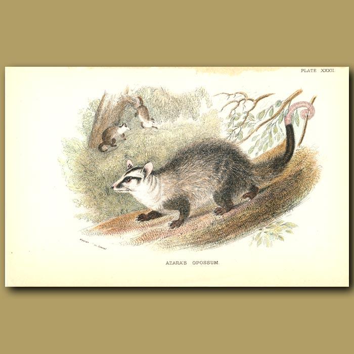 Antique print. Azara's Opossum or Big-eared Opposum