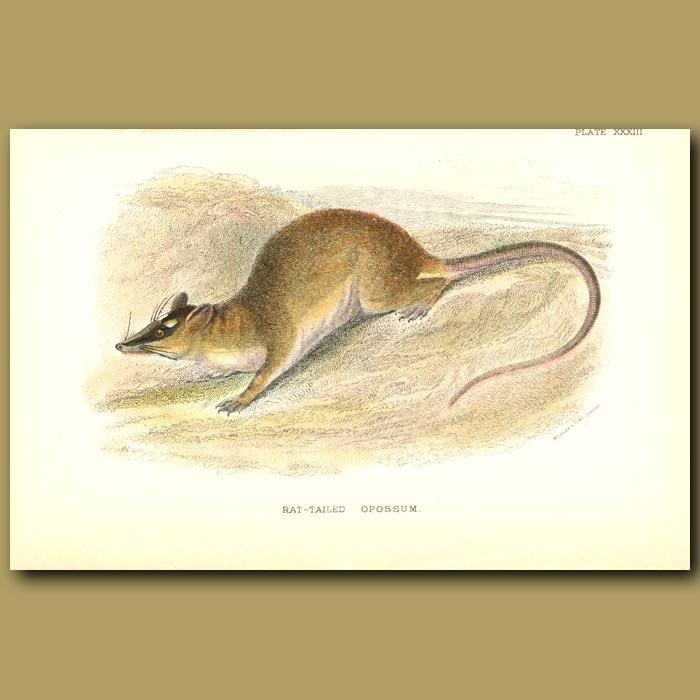 Antique print. Rat Tailed Opossum