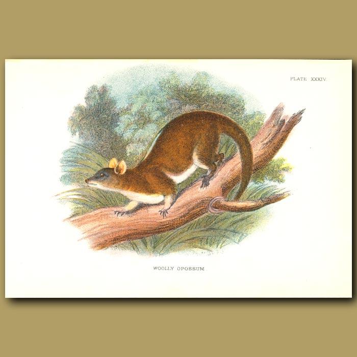 Antique print. Woolly Opossum