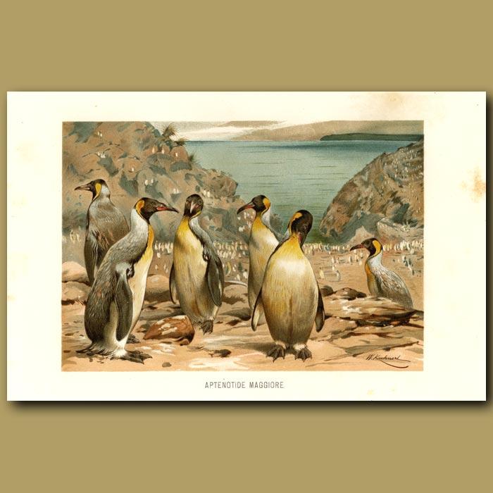 Antique print. Giant Penguins